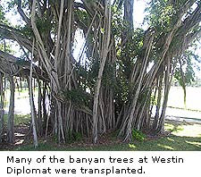 Banyan Trees at Westin Diplomat