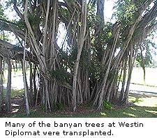 Banyan Trees at Westin Diplomat